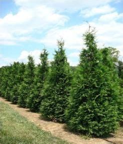 fast growing maple trees thuja gardens 737 best trees for landscaping images on pinterest