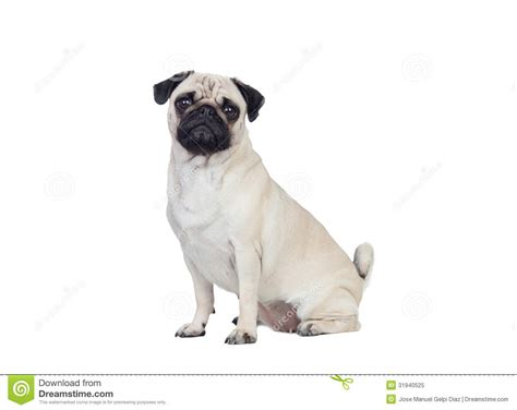 haired pug puppies pug with white hair royalty free stock photo image 31940525