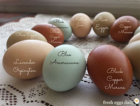 images  chickens egg colors  pinterest