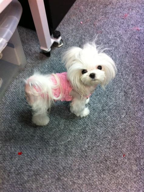 maltese dog cottony hair valley girl having a bad hair day awesome maltese