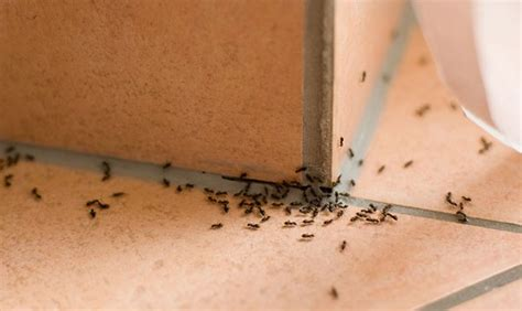 tiny ants in house how to get rid of ants in the house