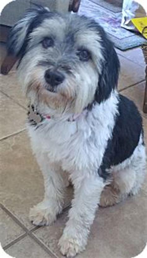 havanese rescue az lilac flower adopted az havanese poodle