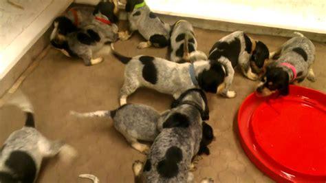 free blue tick hound puppies blue tick hound puppy free to home page 6 sowal forum