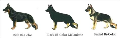 german shepherd color chart german shepherd colors chart www pixshark images