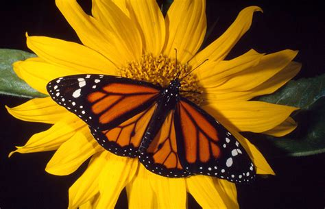 of a butterfly monarch butterfly wwf canada