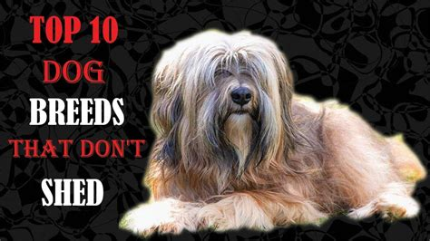 best dogs that dont shed top 10 breeds that don t shed