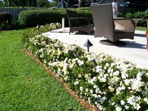 august beauty gardenias   border   driveway