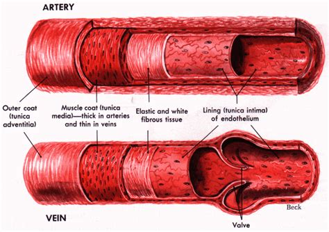 diagram of the blood vessels biobook leaf what are the components of