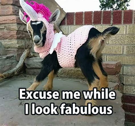Fabulous Meme - goat memes excuse me while i look fabulous picsmine