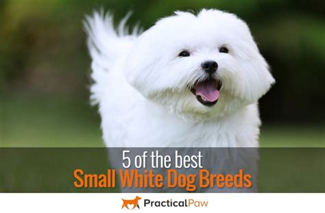 best small 5 of the best small white breeds practical paw the