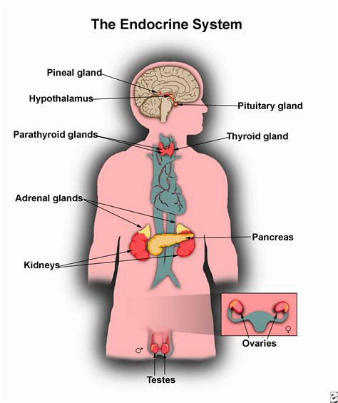 glands of the diagram endocrine system discover the anatomy and function of