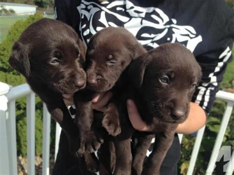 chocolate lab puppies for sale tn akc registered chocolate lab puppies for sale in cosby tennessee classified
