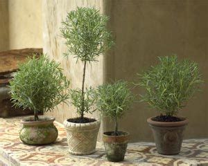 live rosemary topiary topiaries and boxwood topiary on