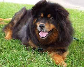 chow rottweiler all about the rottweiler chow mix facts information