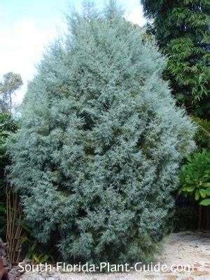decorated blue arizona cypress arizona cypress tree