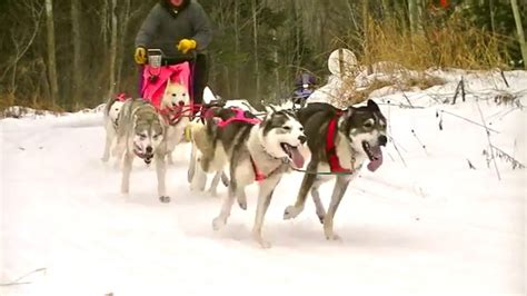 how are sled dogs trained 2016 crocker sled jan 24