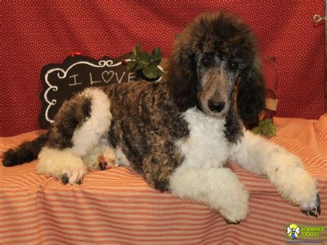 standard parti poodle puppies for sale jake standard parti poodle puppy renowned poodles