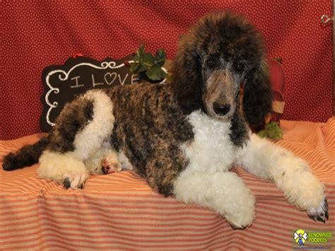 parti poodle puppies jake standard parti poodle puppy renowned poodles
