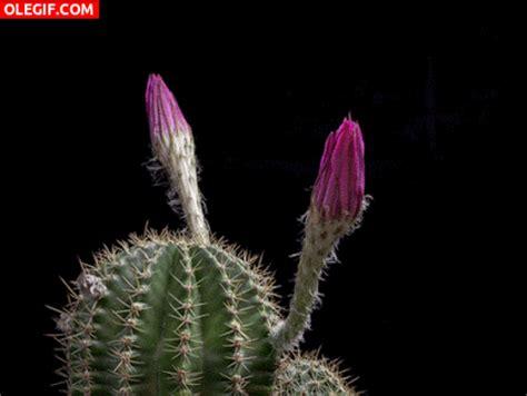 imagenes flores gif gif flores de cactus abriendo sus p 233 talos gif 4505