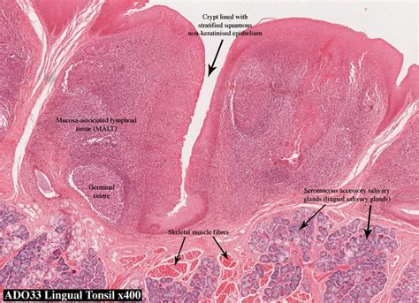 Atlas Histologi Difiore palatine tonsil histology search anatomy and physiology lab i search