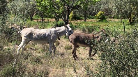 burros con yeguas burras cuando no quieren al burro viyoutube