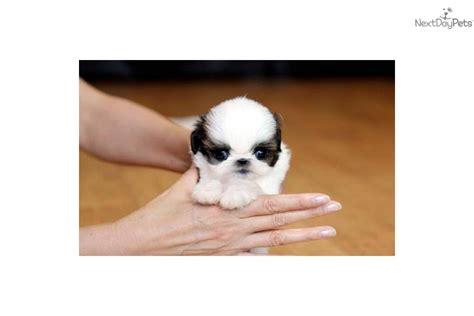 shih tzu puppies richmond va shih tzu puppy for sale near richmond virginia 1500ad7c 6401