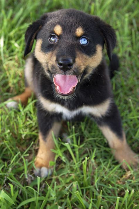 rottweiler with information about the rottweiler siberian husky mix rottsky