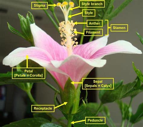 diagram of hibiscus flower hibiscus