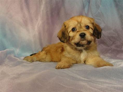 cavachon puppies for sale in iowa cavachon puppies breeders cavachons breeds picture