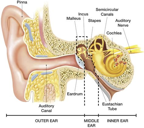 ear sections how we hear hearing associates inc