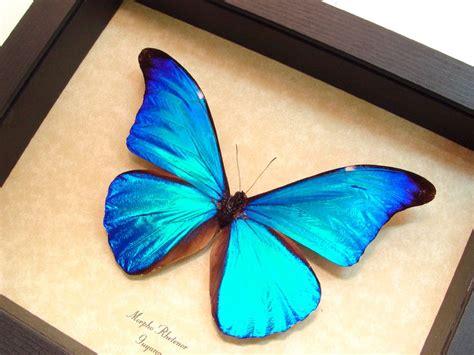 imagenes de mariposas morfo azul imagenes de la morpho azul im 225 genes y fotos