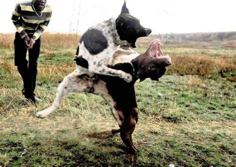 pitbull fights image gallery killer pit bulls fight