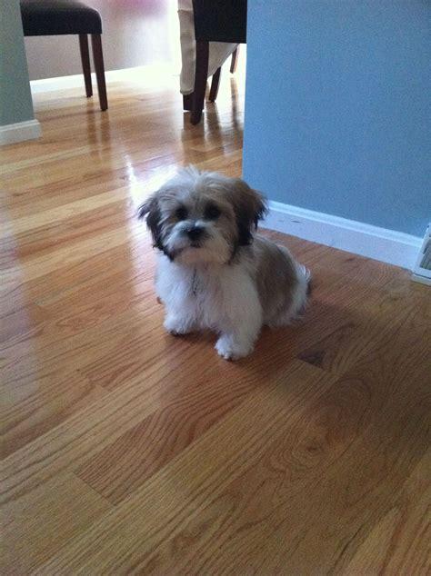 shichon teddybear haircuts zoey fluffy shichon before haircut doggy pinterest