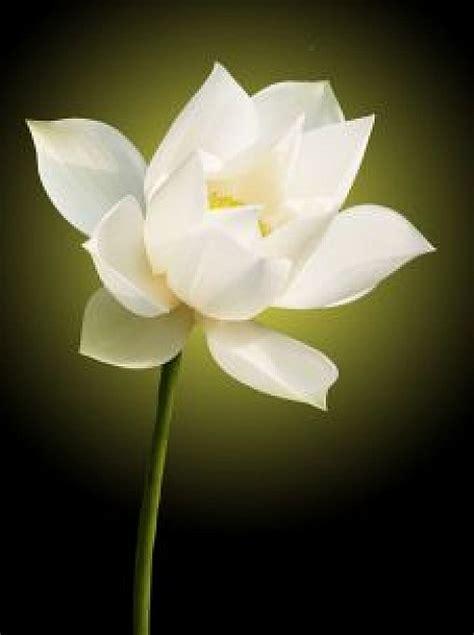 fiore di loto bianco fior di loto bianco scaricare foto gratis