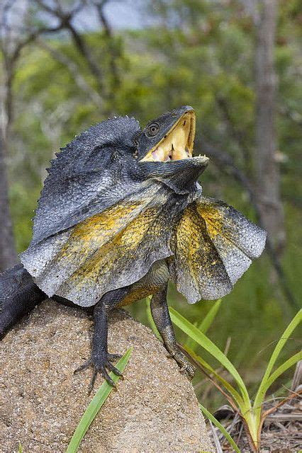 frilled necked lizard tumblr