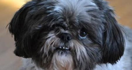 shih tzu respiratory problems shih tzu breathing problems assistedlivingcares