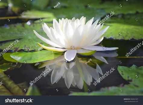 lotus with water beautiful white lotus flower water stock photo