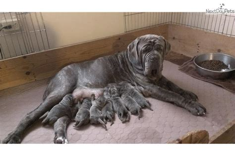 mastiff puppies for sale in pa neapolitan mastiff puppies for sale in pa breeds picture