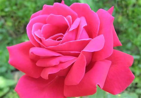 Bunga Mawar Alam Indah gambar bunga mawar pink pesona dunia