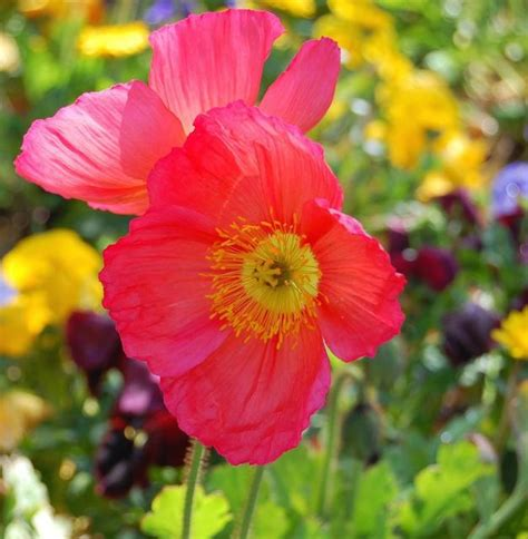 color poppies photo jpg hi res 720p hd