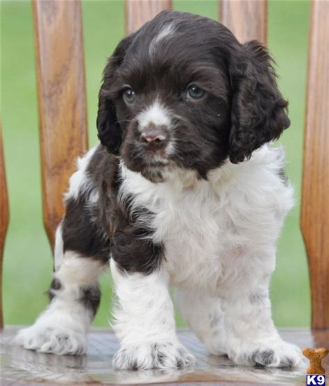 teacup cocker spaniel puppies for sale teacup terrier puppies sale image search results breeds picture