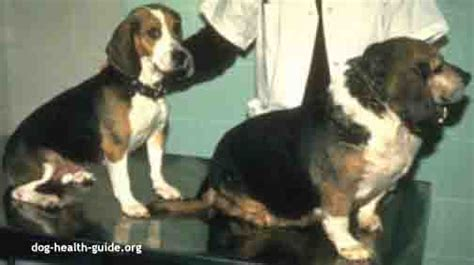 hyperthyroidism in dogs thyroid problems in dogs care and treatment