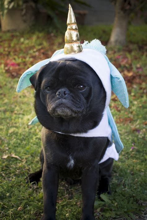 pug confessions sweatshirt confessions of a pug dressing pugs up the pug diary