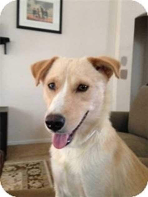 golden retriever rescue philadelphia madilyn adopted philadelphia pa golden retriever wirehaired fox terrier mix