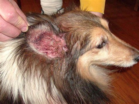paw yeast infection home remedy yeast infection in dogs ears ear yeast infection symptoms treatment home