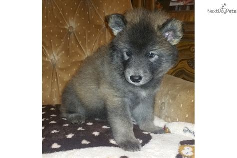 wolf puppies for sale timber wolf puppies for sale in florida breeds picture