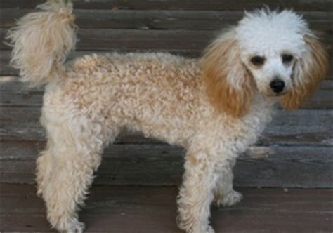 golden retriever poodle mix price view ad golden retriever poodle mix puppy for sale missouri lees summit