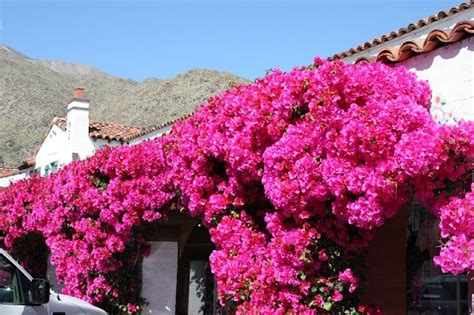 drought resistant climbing plants bougainvilla for the home