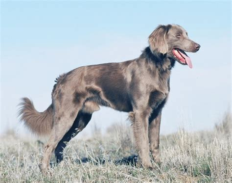 haired weimaraner puppies 1000 images about haired weimaraner on