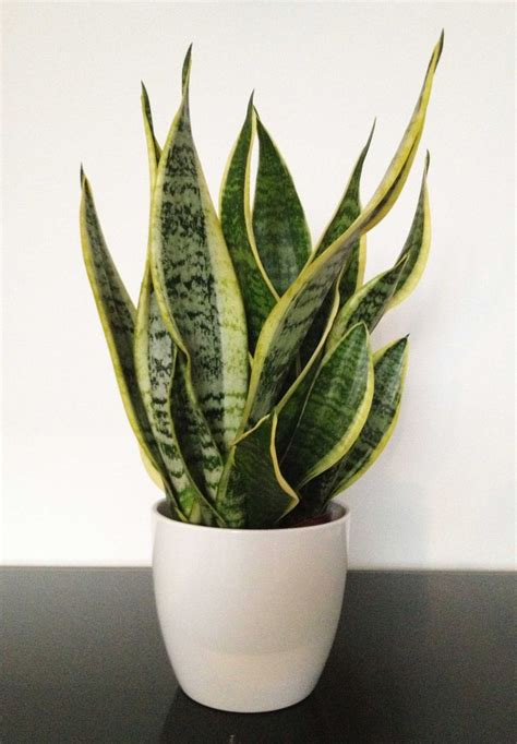 Houseplants That Don T Need Light by 5 Houseplants That Do Double Duty Total Mortgage